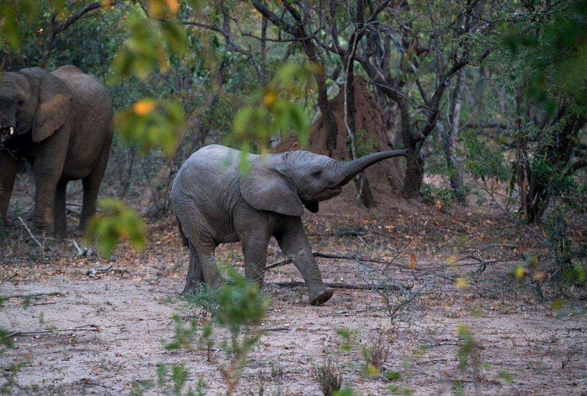 Elefantunge mellan träd