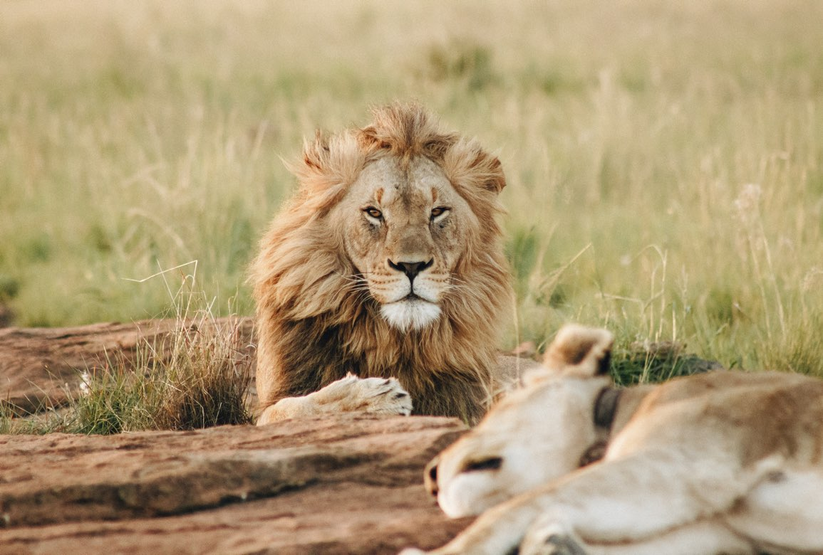 2 lejon som vilar i gräset
